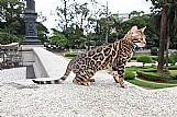 Gato bengal - filhotes - pelagem espetacular - incomparavel