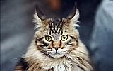 Filhote maine coon o gato gigante 100% legitimo