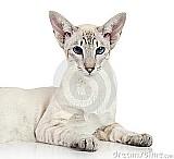 Gato oriental do blue-point