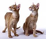 Oriental   gatos de raca