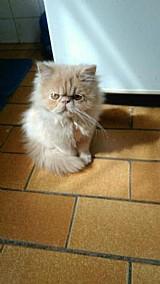 Vende-se lindos filhotes de gato persa
