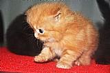 Gato persaa
