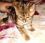 Gatos bengal,  filhtoes gatinhos tigre,  onca, bengali, bengala