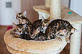 Gato bengal - filhotes disponiveis - femeas e machos 12 x
