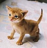 Gato abissinio