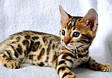 Gato bengal - filhotes machos e femeas