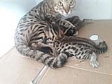 Gatos bengal - filhotes