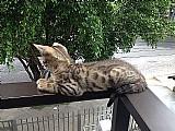 Filhote macho de gato bengal