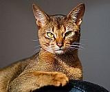 Raca de gatos: abissinio