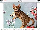 Filhotes de gato bengal. lindos com pedigree e vacinados
