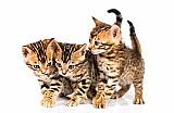 Filhotes bengal o gato leopardo!