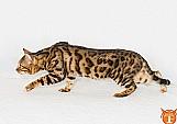 Filhotes de gato bengal (mini oncinha) / sc