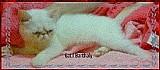 Filhote gato persa exotico himalaia femea