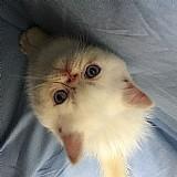 Filhote macho de gato exotico