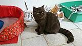 Filhote de gato persa ( exotico pelo curto)