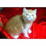 Filhote gato persa exotico vermelho bicolor em12x108