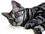 Filhotes de american shothair ( o gatinho do whiskas )