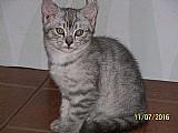 Filhote de british shorthair , macho,  prata/gatil da lucy