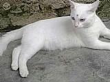 Gatinha branca angora x siames 6 meses