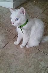 Gatinha angora 5 meses branquinha