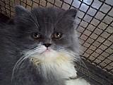 Filhotes de gatos persa de 4 a 6 meses disponivel