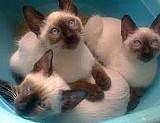 Filhotes de gato siames legitimos sangue puro