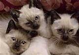Lindos filhotes de siames gato legitimos