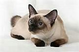 Filhotes de gato siames legitimos
