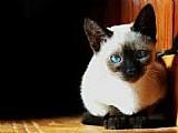 Filhotes de gatos disponivel siames legitimos olhos azuis