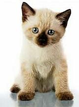Filhotes de gatos disponivel siames puro sangue