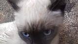 Gato siames filhotes
