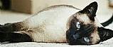 Filhotes de gatos siames legitimos macho e femea
