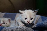 Gato siames com 20 dias de nascido