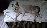 Gato siames macho 8 meses