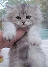 Gatinhos persas adoção
