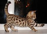 Gatinhos bengal por adoção