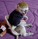 Mono capuchon bonito para mudança
