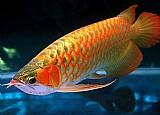 Classe a peixes aruana