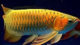 Classe aaa aruana peixes disponivel