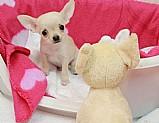 Santos, mini toy filhotes de macho e f�mea chihuahua