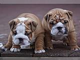 Bulldog cachorros inges
