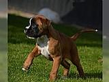 Boxer filhotes de macho e f�mea
