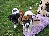 Filhotes jack russell terrier
