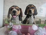 Beagle lindos e apaixonantes