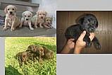 Labrador retriver amorosos e amaveis