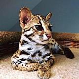 Disponivel f1,  savannah f2 e serval,  caracal e gatinhos ocelot