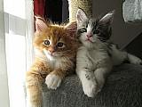 Disponivel gatinhos maine coon