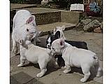 Filhotes de cachorro do buldogue frances pronto para ir agora
