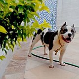 Filhote american bully com stanforshare