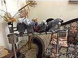 Africano grey,  arara,  cockatoo papagaios e fertil ovos